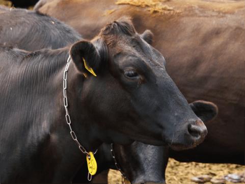 黒毛和牛の写真
