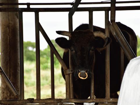 柵の中の松阪牛